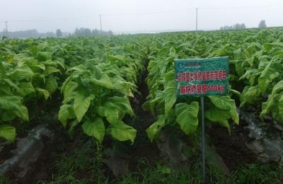 山东潍坊-烟草种植示范