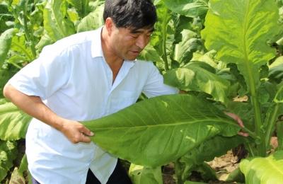 信阳罗山-烟草种植示范