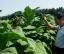 平顶山叶县-烟草种植