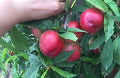 登封白沙湖油桃--水果