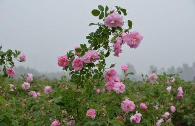 登封玫瑰花茶--花植种