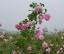 登封玫瑰花茶--花植